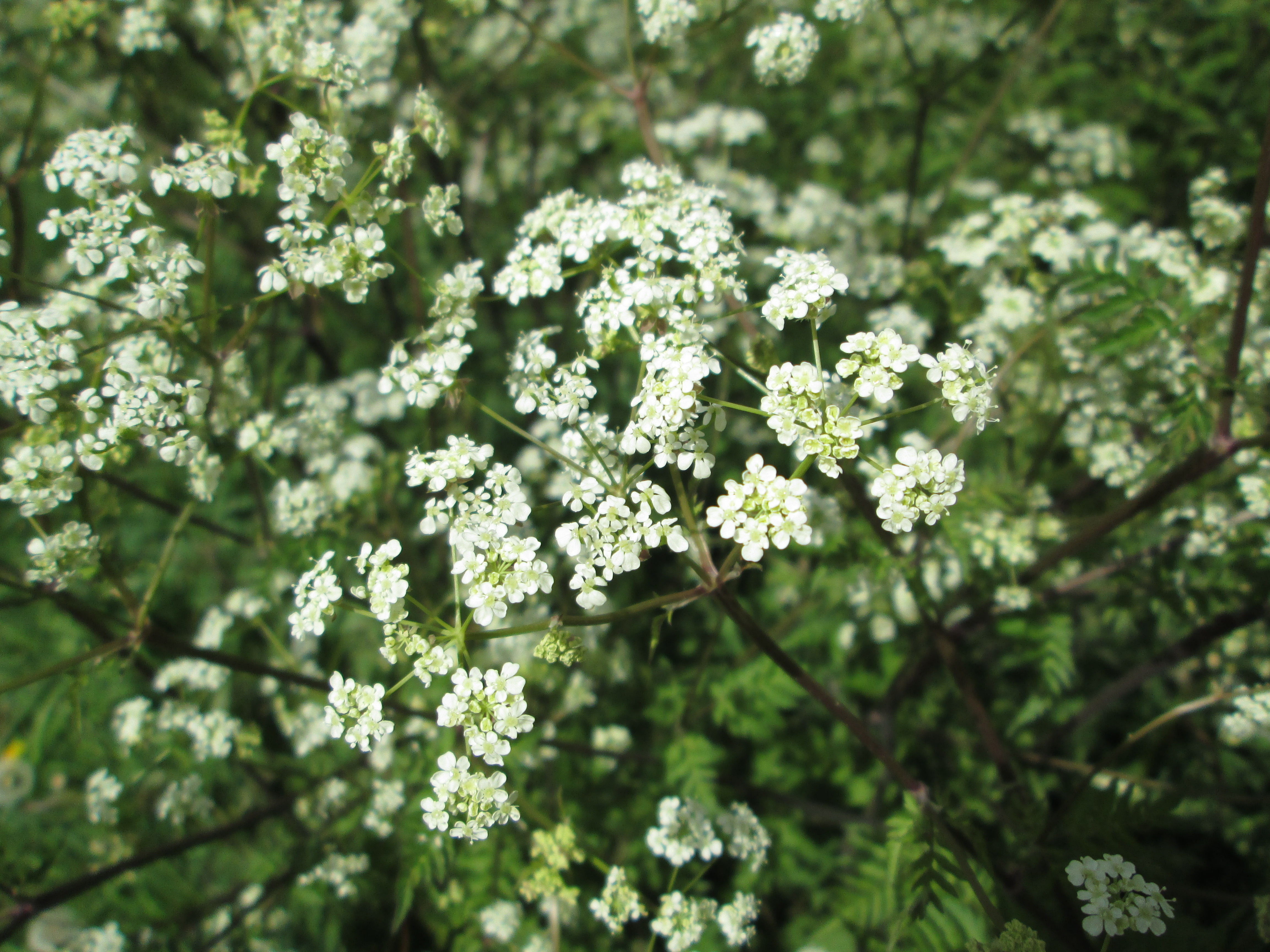 Cow parsley shawsseasonalliving the attractive white flowers may also tempt flower arrangers but the major disadvantage is that it sheds messy small petals so it is understandable that mightylinksfo